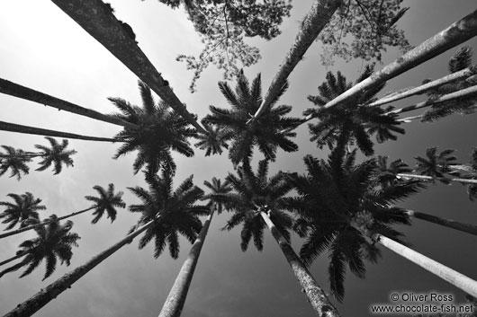 Royal palms roystonea in the botanical garden in rio de janeiro