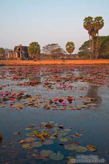 Pool with water lilies within Angkor Wat