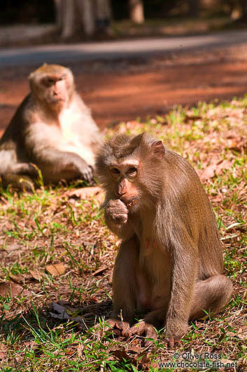 Baboons at Angkor Thom