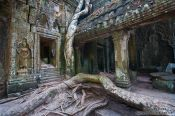 Travel photography:Giant roots of a fig tree at Ta Prom temple, Cambodia