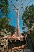 Travel photography:The force of nature in the form of a giant fig tree at Ta Prom , Cambodia