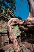 Travel photography:Giant root growing over Ta Prom , Cambodia