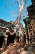 Travel photography:Large fig tree at Ta Prom , Cambodia