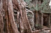 Travel photography:Giant tree covering Ta Prom , Cambodia