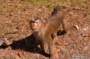 Travel photography:Baboon at Angkor Thom, Cambodia