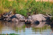 Travel photography:Water buffaloes in their element, Cambodia