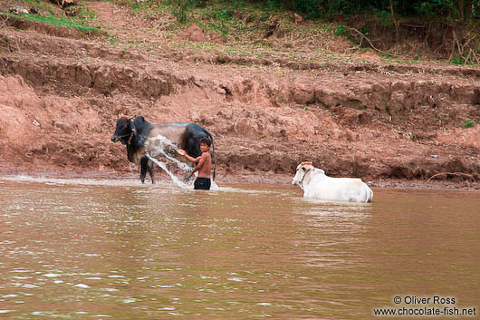 Washing the cows in the Mekong river