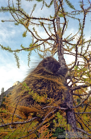 Porcupine near Lake Louise