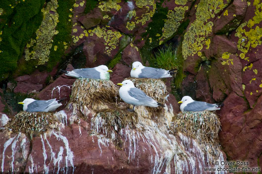 Nesting sea gulls on bird island near Bay Bulls