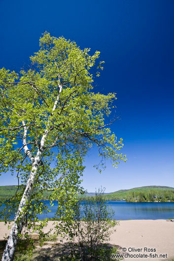Birch tree with lake near the Mont Tremblant National Park