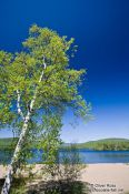 Travel photography:Birch tree with lake near the Mont Tremblant National Park, Canada