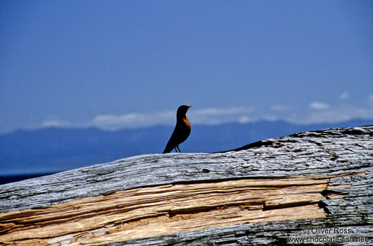 Bird on log, Juan de Fuca Trail, Vancouver Island