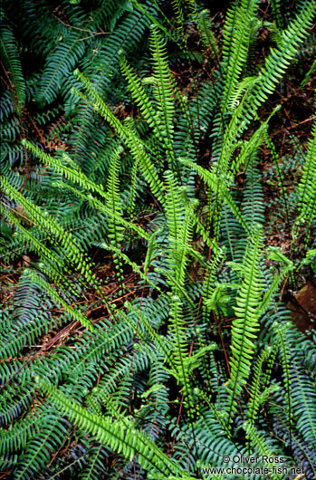 Small Ferns on Vancouver Island