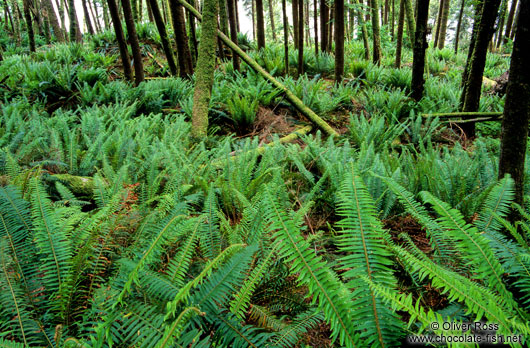 Ferns on Vancouver Island
