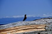 Travel photography:Bird on log, Juan de Fuca Trail, Vancouver Island, Canada