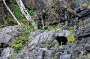 Travel photography:Black bear on Vancouver Island, Canada