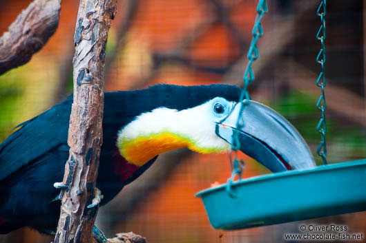 Tucan in Hong Kong´s Zoological Garden