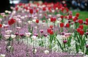 Travel photography:Tulips outside Zagreb theatre, Croatia