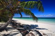 Travel photography:Palm tree at Cayo-las-Bruchas beach, Cuba