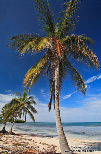 Palm tree on a beach in Cayo-Jutías