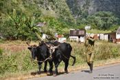 Travel photography:Man with oxen in Viñales, Cuba
