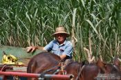 Travel photography:Sugarcane farmer near Viñales, Cuba