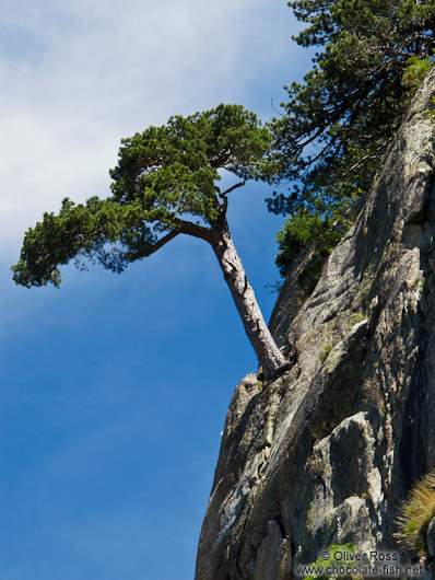 Tree growing on a near vertical rock face