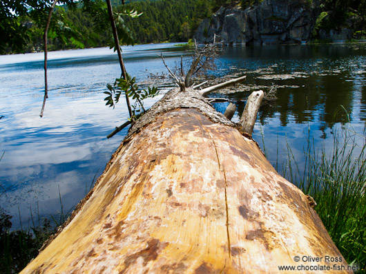 Fallen tree at the Lac Noire