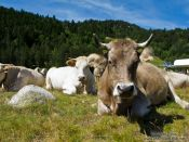 Travel photography:Cow near Coll de Pam, France