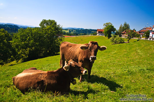 Cows on a pasture in the Allgäu