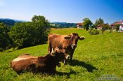 Travel photography:Cows on a pasture in the Allgäu, Germany