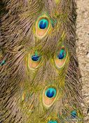 Travel photography:Detail of peacock feathers in the Hamburg Tierpark Hagenbeck zoo, Germany