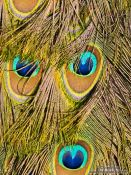 Travel photography:Close-up of peacock feathers in the Hamburg Tierpark Hagenbeck zoo, Germany