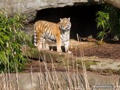 Travel photography:Tiger in the Hamburg Hagenbeck Tierpark zoo, Germany