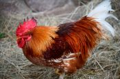 Travel photography:21st century Rooster, Germany