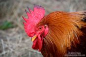 Travel photography:Rooster close-up, Germany