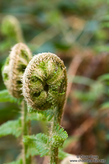 Uncurling fern in a forest near Kiel