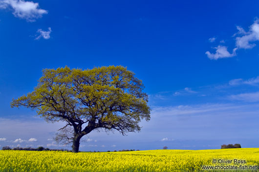 Rape field with oak tree
