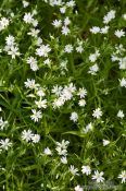Travel photography:Small daisy flowers in a forest near Kiel, Germany