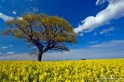 Travel photography:Rape field with oak tree, Germany