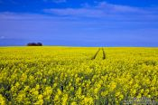 Travel photography:Rape field with tractor tracks, Germany