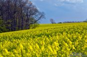 Travel photography:Rape field with forest, Germany