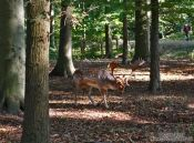 Travel photography:Deer in Kiel forest, Germany