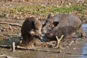 Travel photography:Wild boar fight, Germany