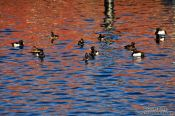 Travel photography:Ducks in Laboe harbour, Germany