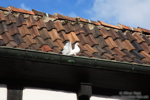 White pigeon on the Wartburg Castle