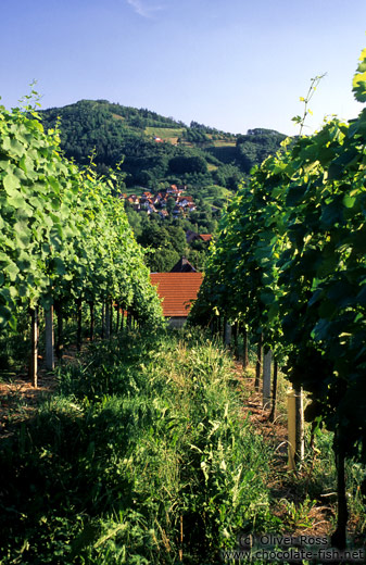 Vineyard in the Bühlertal near Sasbachwalden (Black Forest)