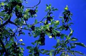 Travel photography:Black cherries on a tree in the Bühlertal, Germany