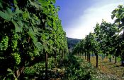 Travel photography:Vineyard in the Bühlertal near Sasbachwalden (Black Forest), Germany