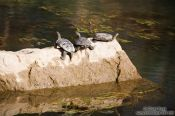 Travel photography:Turtles sunbathing on a rock near Preveli beach, Grece